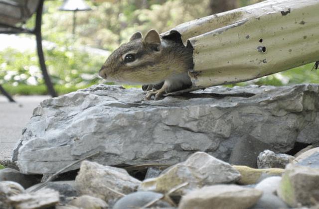 squirrell in gutter